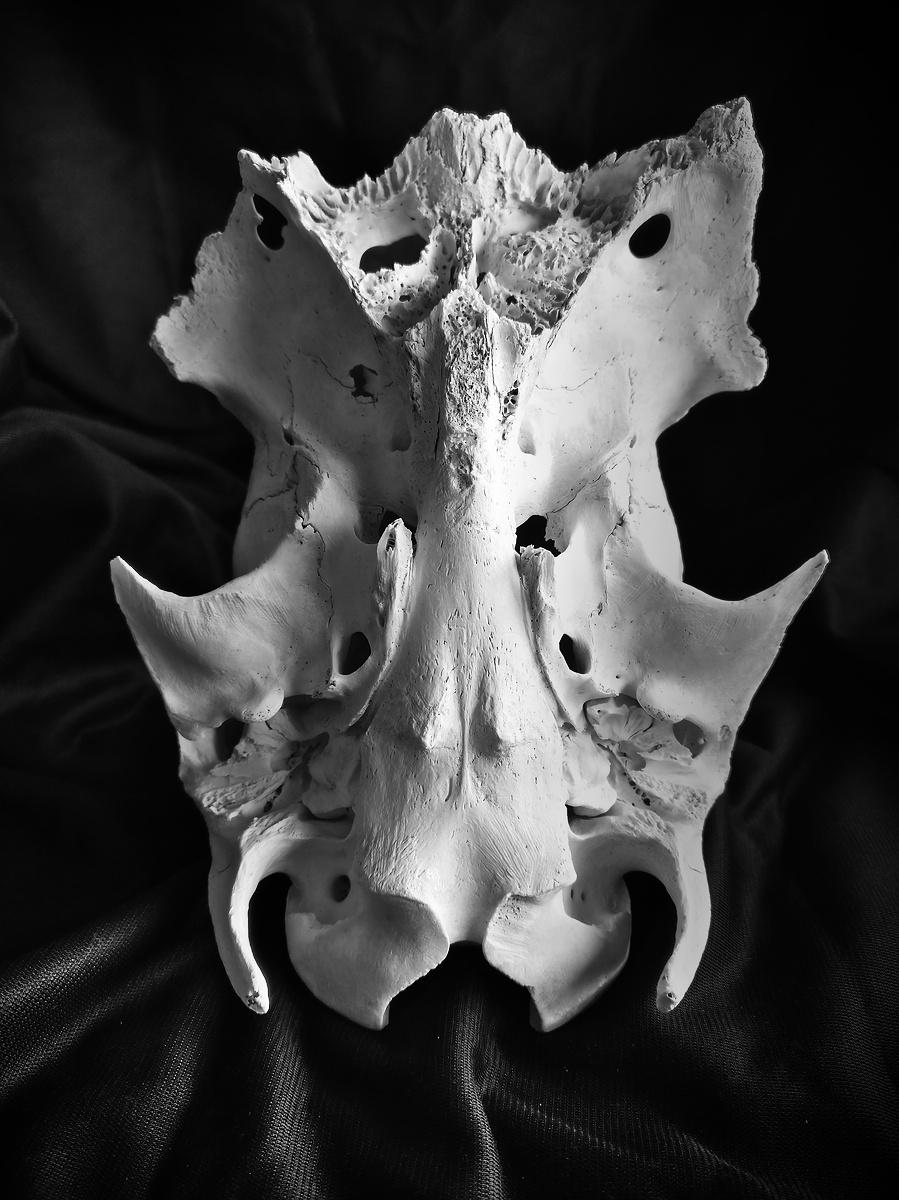 Crâne trouvé en forêt, un chevreuil peut-être ?
