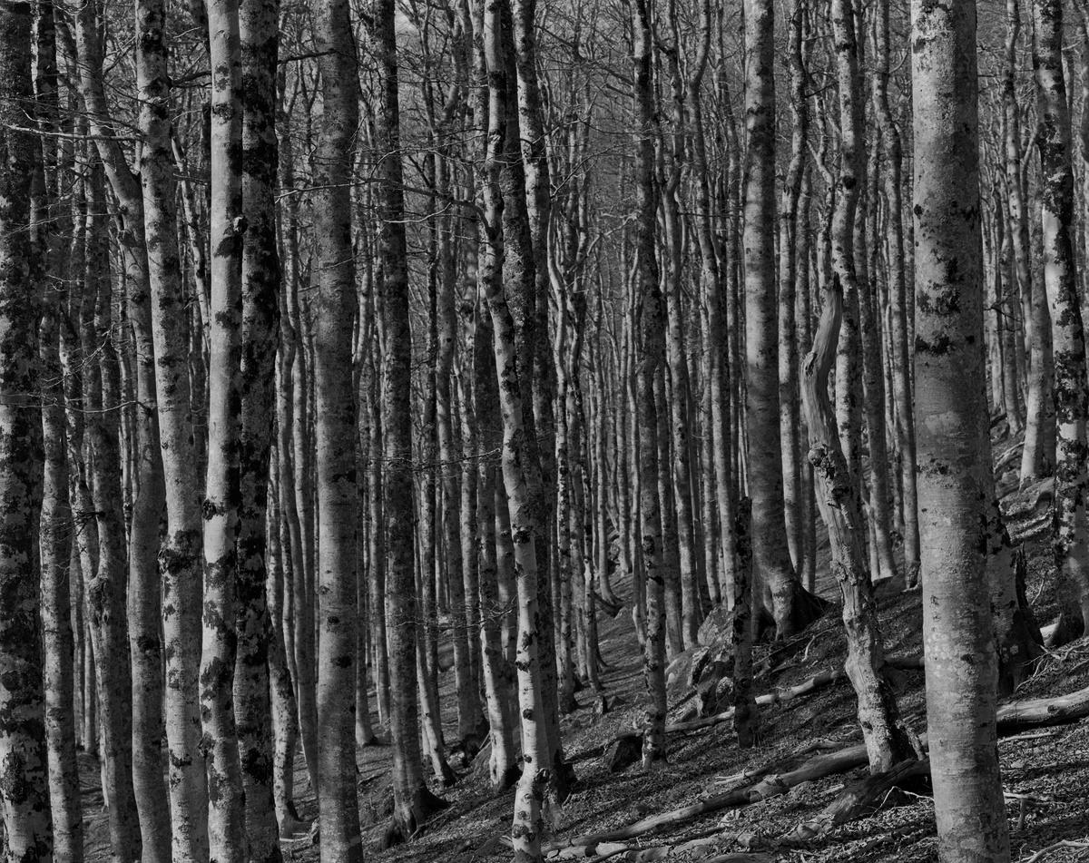 Octobre 2017, Iraty, forêt de troncs verticaux. Ilford Delta 100 4x5, Nikkor-M 300, f/32, 1/4sec.