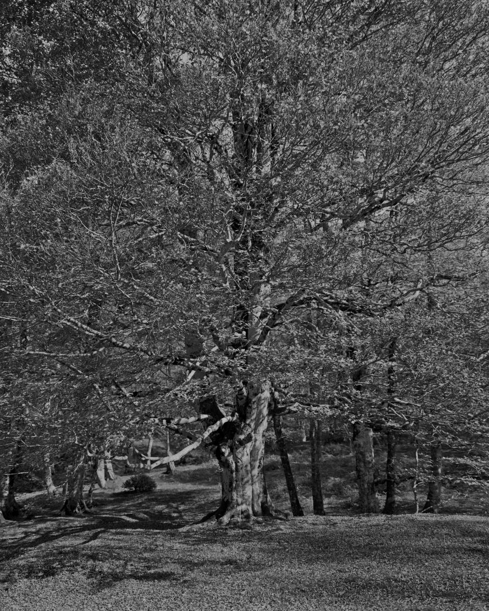 Octobre 2017, hêtre en lisière. Gros arbre en fond de vallon. Ilford Delta 100 4x5, Super Symmar 110XL, f/8, 1/30 sec.