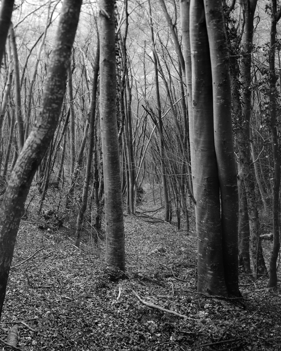 Beech tree forest. Fomapan 100 with Caffenol C-M dev.